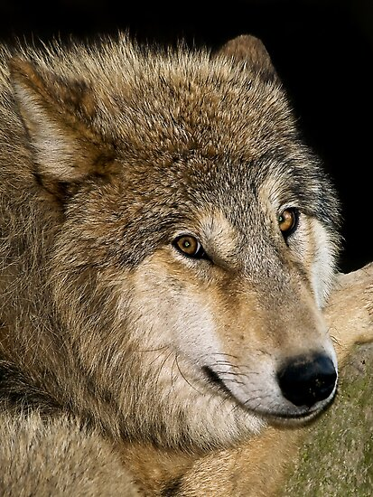 Wolf Portrait by Henry Jager