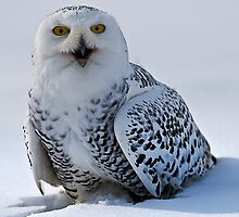 Snowy Owl by Sue Ratcliffe