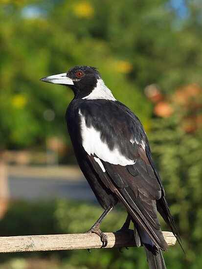 Female Australian Magpie by shortshooter-Al