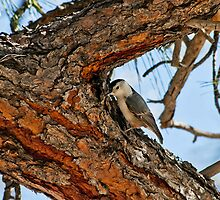 White-Breasted Nuthatch by Diana Graves Photography