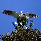 White Tailed Kites Mating Tree Top Style by DARRIN ALDRIDGE
