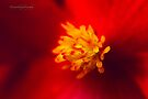 A Burst of Red - Begonia by Yannik Hay