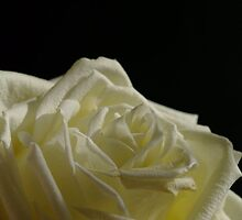 Tenderness of a Rose by TriciaDanby
