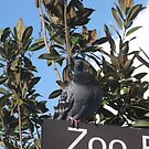 London Zoo/Perched Pigeon -(190212)- digital photo by paulramnora