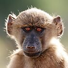 Chacma baboon #1 by Kobus Olivier
