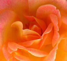 Peach Rose by Christian  Bennion