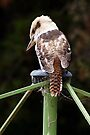 Clothes Line Kooka by Kristina K