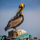 Birds of a feather: Pelican Portrait by alan shapiro