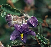 Purple Keraudrenia hillii flower Sullivans Western Australia 1982 08190046 by Fred Mitchell