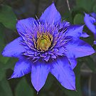 True Blue Clematis! by Rose Landry