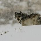 Winter Wolf #3 by Ken McElroy