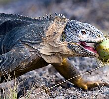 Hybrid Iguana, South Plaza, Galapagos by parischris