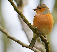 Chaffinch, The Rower, County Kilkenny, Ireland by Andrew Jones