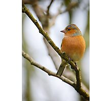 Chaffinch, The Rower, County Kilkenny, Ireland Photographic Print