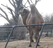 London Zoo/Camel (1 of 2) -(190212)- digital photo by paulramnora