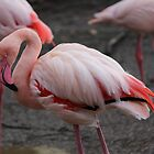 Red Flamingo by karina5