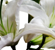 Two Delicate White Lilies Sticker