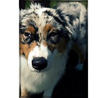 Blue Merle Australian Shepherd Photographic Print