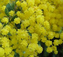 Wattle, Tasmania by Wendy Dyer