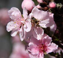 Busy Bee in the Peach Tree! by heatherfriedman