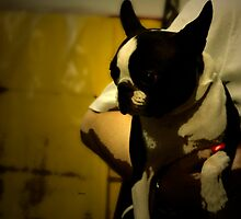 The Boston Bull Terrier  by ArtbyDigman