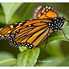 monarch butterfly 4 by bluetaipan
