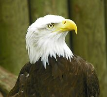Bald EAGLE by Diane Trummer Sullivan