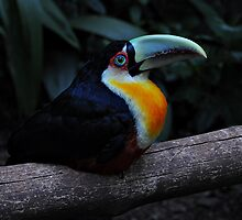 Toucan by Peter Hammer