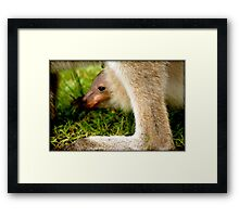 JOEY in mummy KANGAROOS pouch (wee skippy) Framed Print