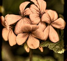 Apricot Geranium by Elaine Teague
