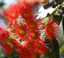 Flowering Gum. by glenlea