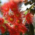 Red Flowering Gum by glenlea