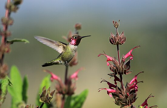 Ruby Throated Hummer Frozen With Style by DARRIN ALDRIDGE