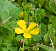 Edible Yellow Wood Sorrel, Yellow Oxalis by Navigator