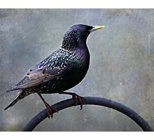 European Starling ~ Photographic Print