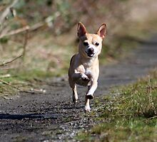One Happy Chihuahua by AngieBanta