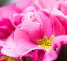 primrose macro by faithie