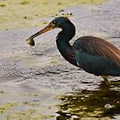 Blue Heron Catch by Diego  Re