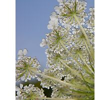 Queen Ann's Lace Photographic Print