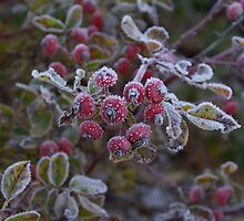 Hoar frost on rose hips by logonfire