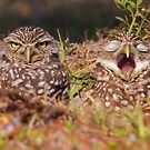 We Hate Mornings - Burrowing Owls by naturalnomad
