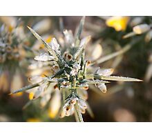 Frost kissed Gorse Photographic Print