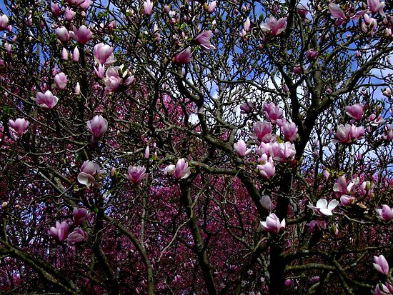 Magnolia Soulangeana by Gabrielle  Lees