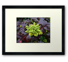 Holly, Cabbage  Framed Print