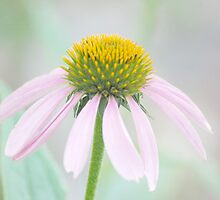 Pastel Pink by Laurie Minor