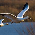 Snow Geese in Flight by Mark Van Scyoc