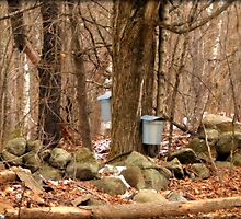 Sugaring Season by Monica M. Scanlan