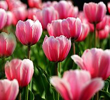 High Park Tulips by KatMagic Photography