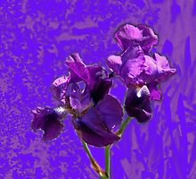 Purple Shades of Irises in Chalk by Nira Dabush