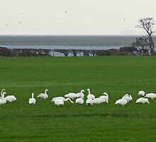Life On The Solway - The Swans From Iceland by VoluntaryRanger